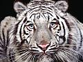 Tigers Free Screensaver